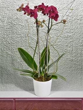 Zarif Orkide