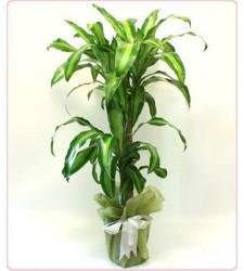 Masengena saksı çiçeği