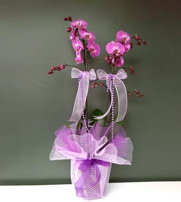 Pembe Orkide 2 dallı