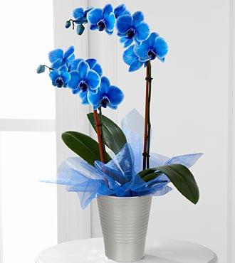 Sonsuz aşk Mavi Orkide