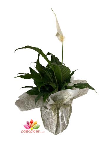 Barış Çiçeği (Spatifilium) pasacicek.com